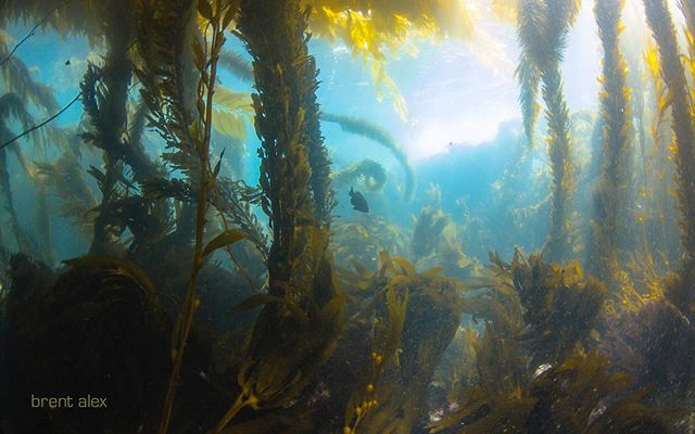 📷@brent.alex ...beneath the canopy in my home waters.  #brentalex  _________________________________ #palosverdes #underwaterphotography #kelp #mpa #conservation