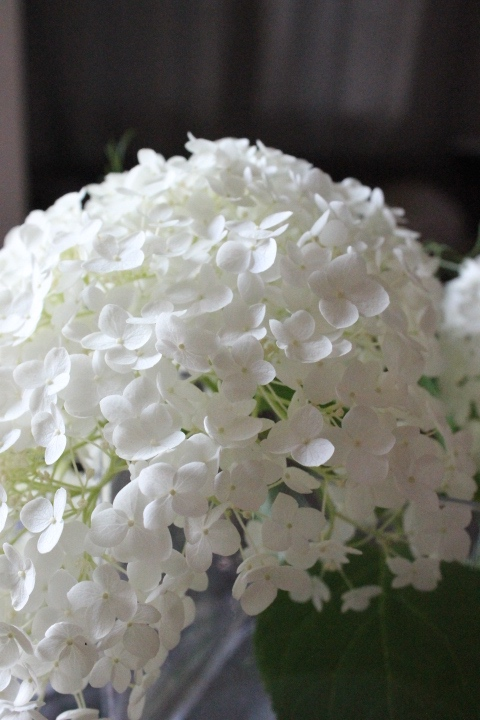 Annabelle hydrangea from our backyard