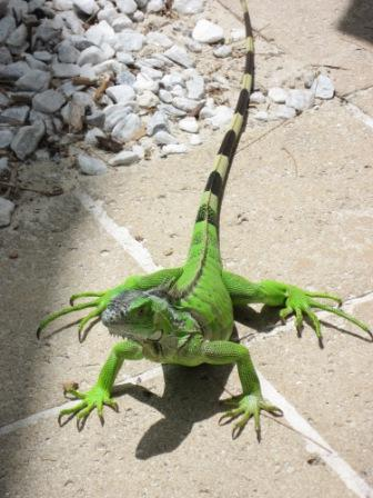 One of the hotel's resident iguanas joining us at lunchtime