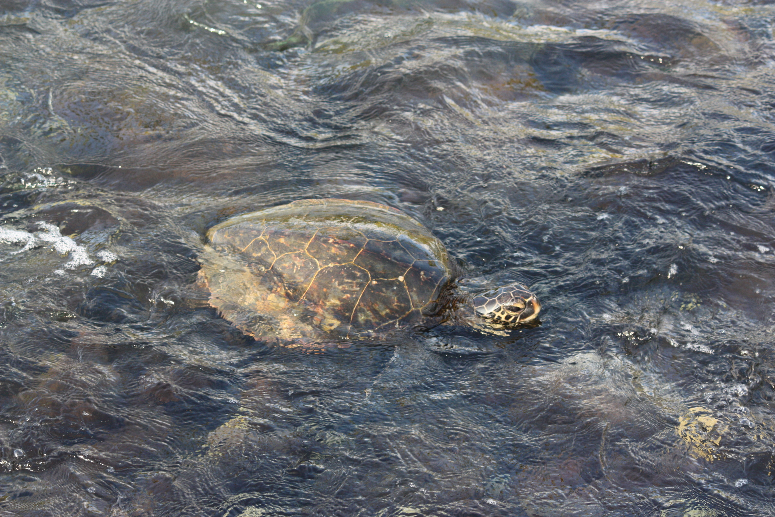 One of many friendly sea turtles we encountered.