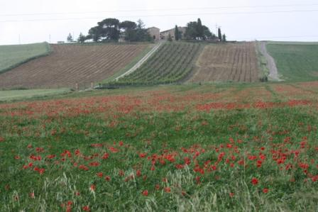 Another gorgeous Tuscan scene – a vineyard with wild poppies in the foreground. Poppies and other wildflowers were everywhere we went in Italy.