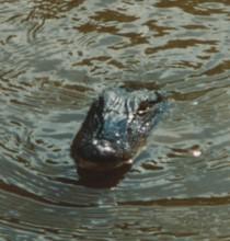 gator1.jpg