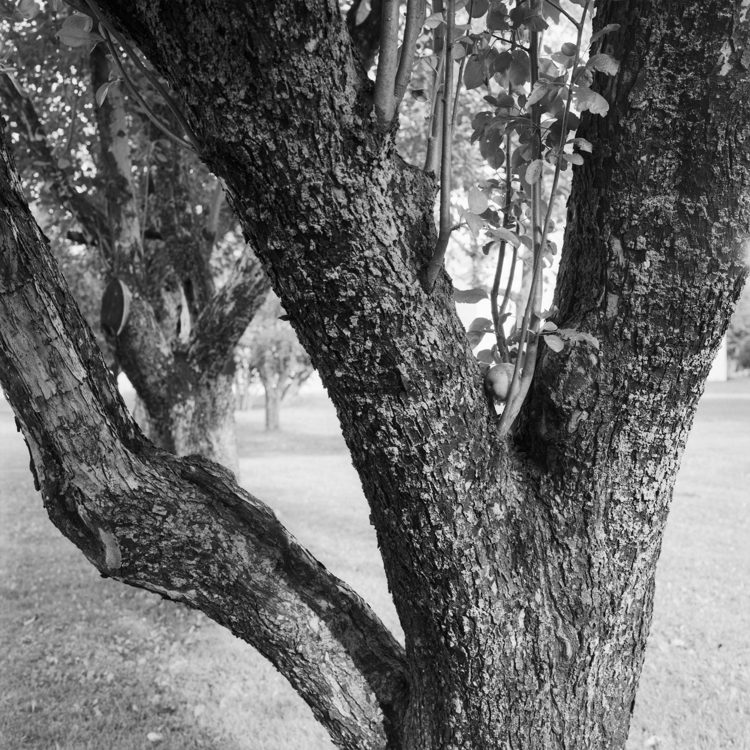 1085-89B RH Tree Trunk.jpg