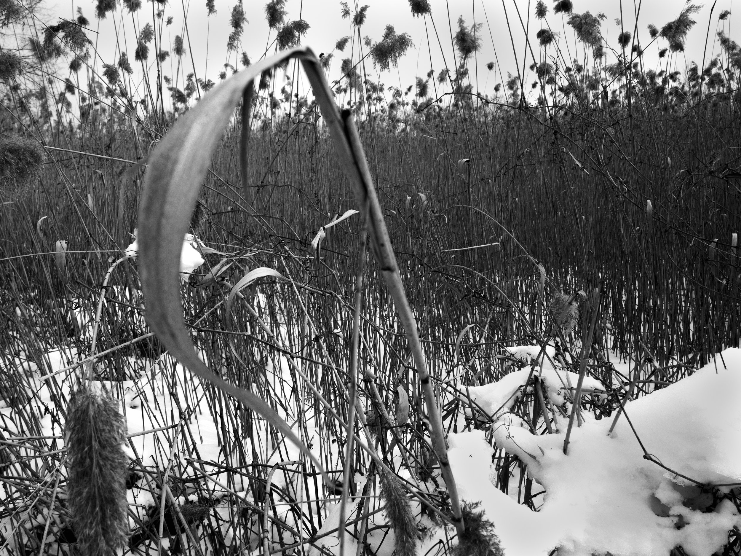 Phragmite Winter