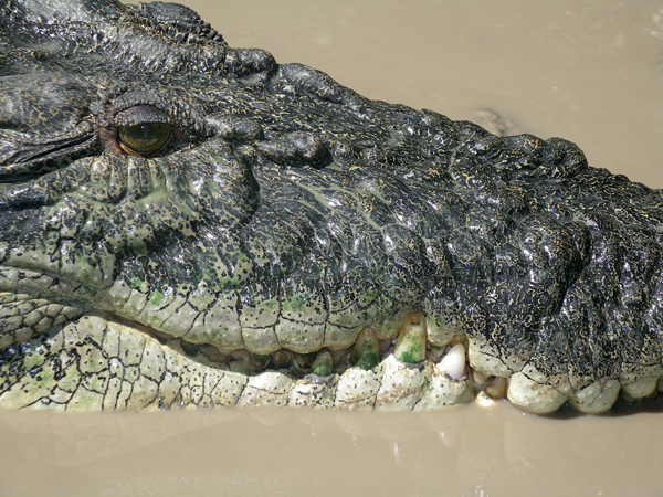 costa rica crocodile.jpg