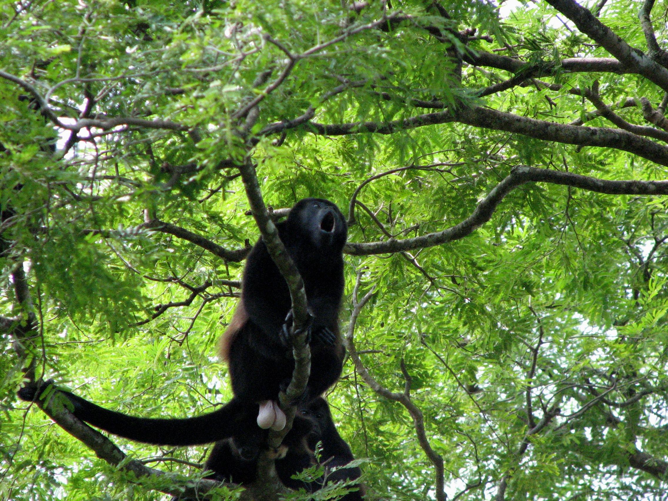 costa rica howler monkey.jpg