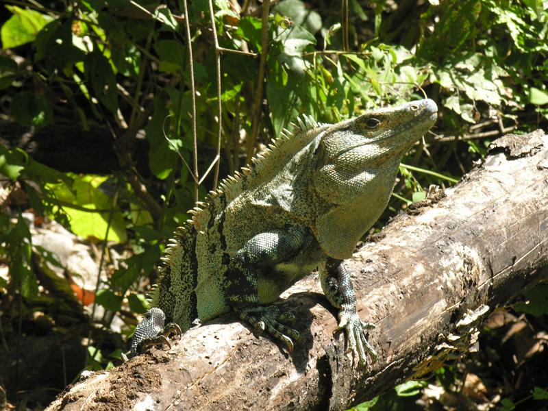 costa rica iguana reptile.jpg