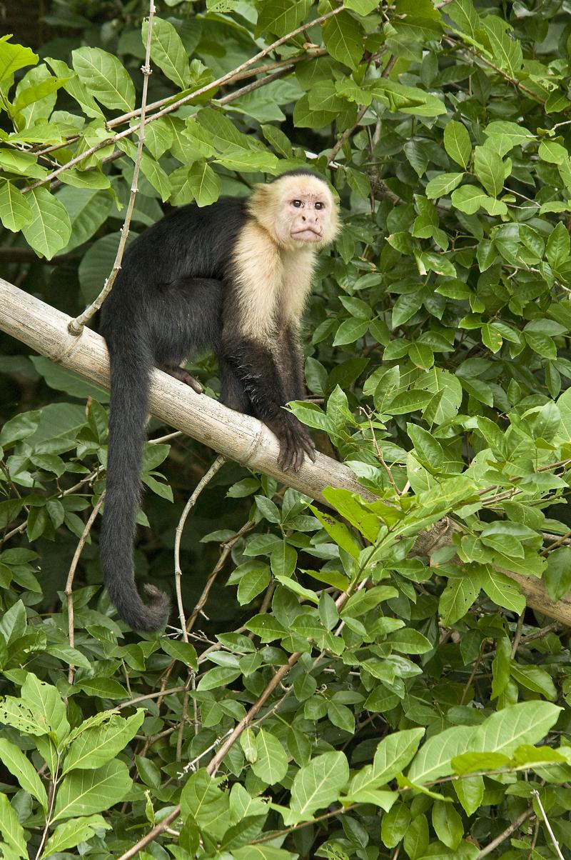 Costa rica white face monkey.jpg