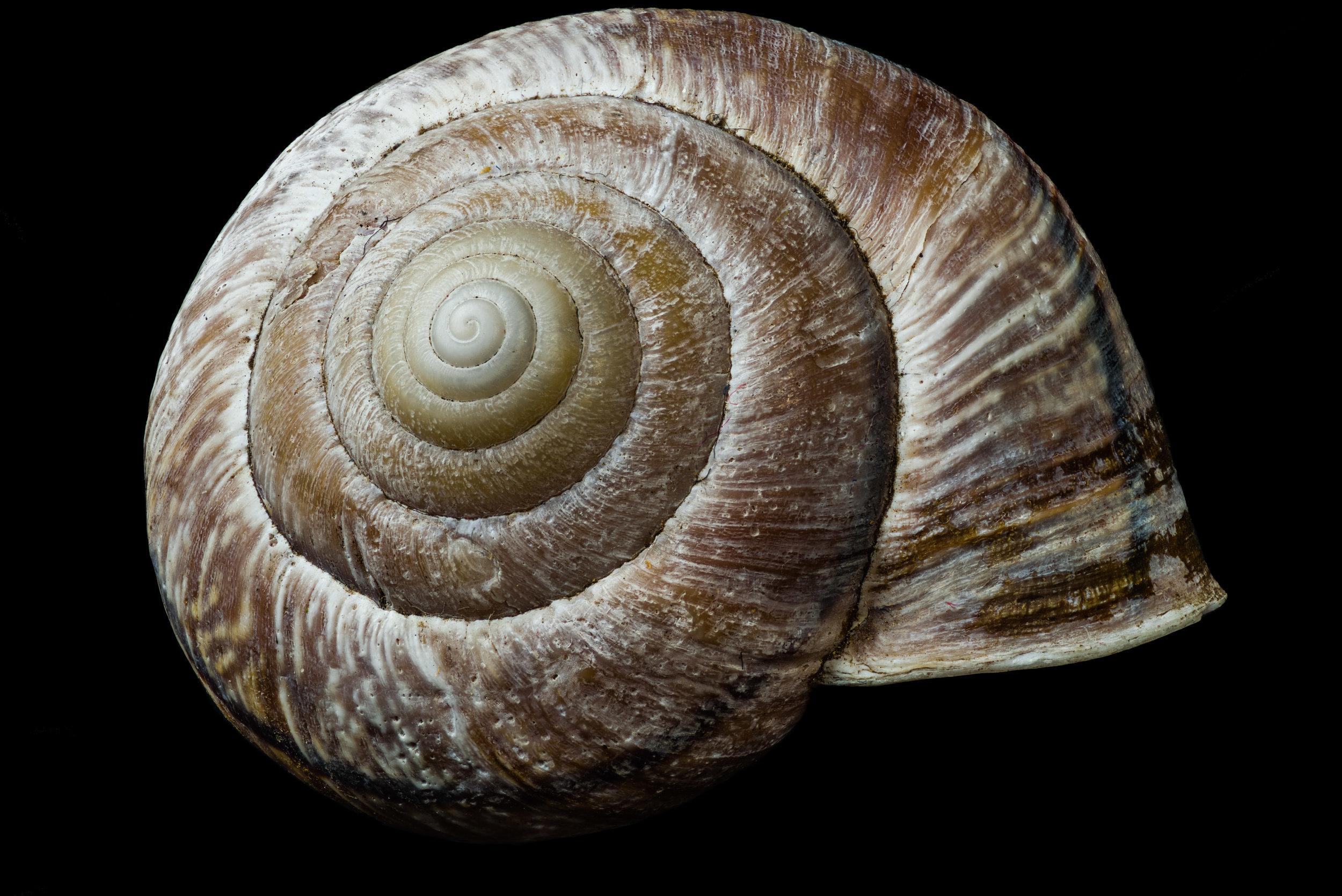 Garden Snail Shell
