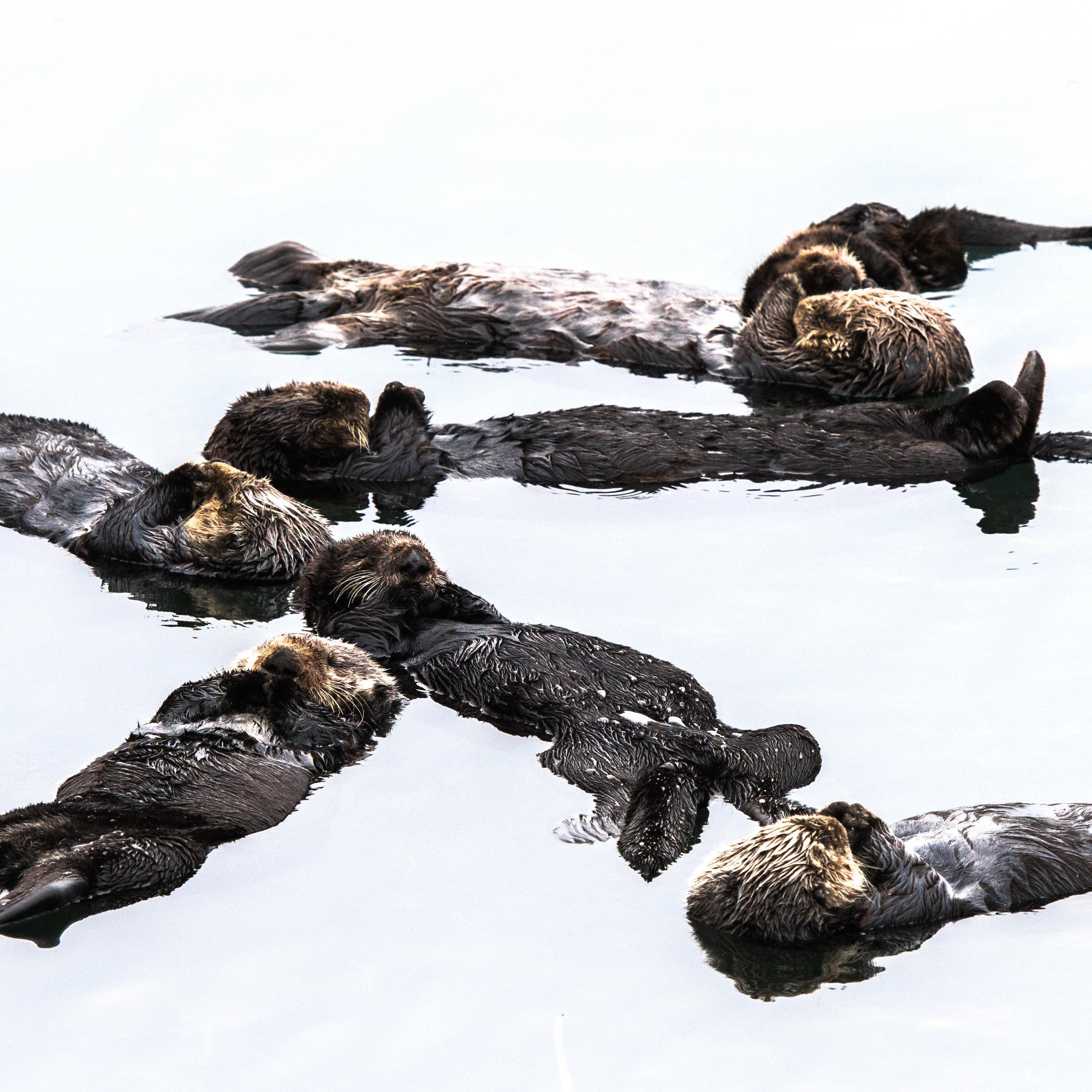 Sea Otters in a Milk Sea