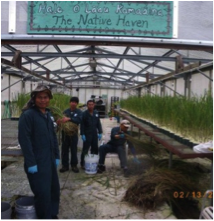 Figure 2. The Sand Island verbesina crew propagating desirable bunchgrass for restoring disturbed sites.