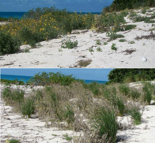 Figure 3. Study site showing verbesina pre-treatment (top) compared to two weeks following application of Milestone (bottom). Verbesina was controlled and bunchgrass continued to flourish.