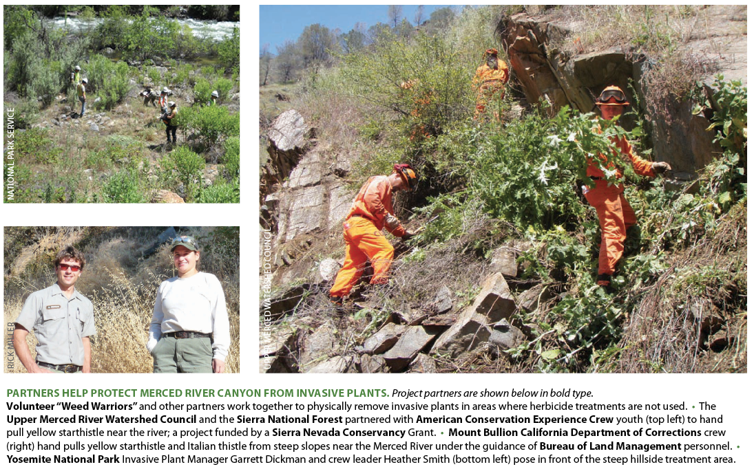 """PARTNERS HELP PROTECT MERCED RIVER CANYON FROM INVASIVE PLANTS.   Project partners are shown below in bold type.     Volunteer """"Weed Warriors""""  and other partners work together to physically remove invasive plants in areas where herbicide treatments are not used. • The  Upper Merced River Watershed Council  and the  Sierra National Forest  partnered with  American Conservation Experience Crew  youth (top left) to hand pull yellow starthistle near the river; a project funded by a  Sierra Nevada Conservancy  Grant. •  Mount Bullion California Department of Corrections  crew (right) hand pulls yellow starthistle and Italian thistle from steep slopes near the Merced River under the guidance of  Bureau of Land Management  personnel. •  Yosemite National Park  Invasive Plant Manager Garrett Dickman and crew leader Heather Smith (bottom left) pose in front of the steep hillside treatment area."""