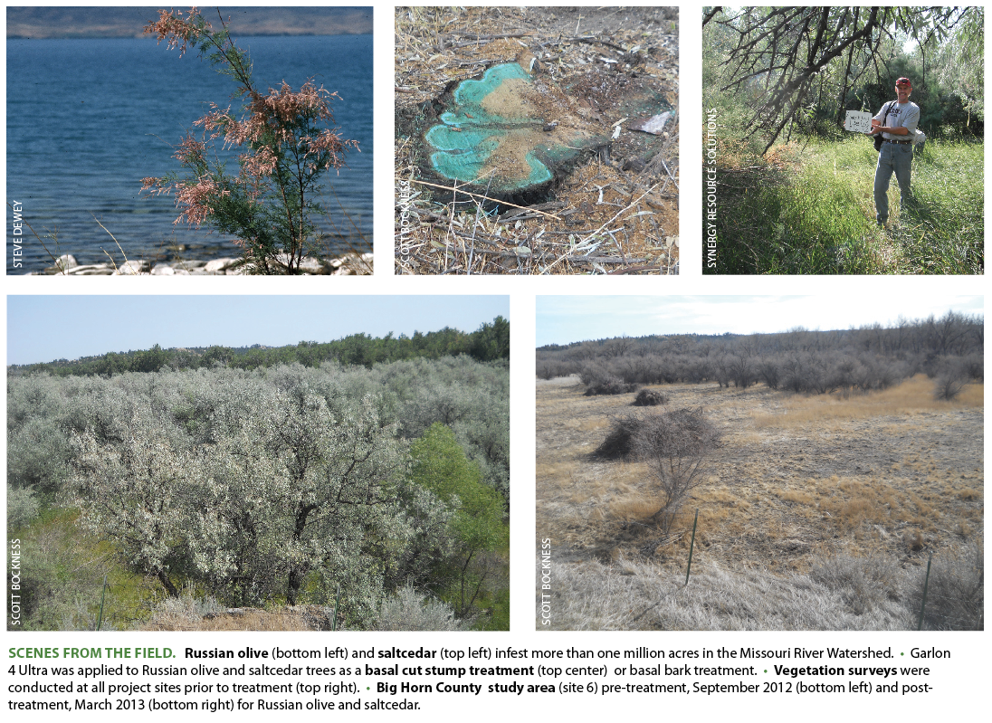 SCENES FROM THE FIELD. Russian olive  (bottom left) and  saltcedar  (top left) infest more than one million acres in the Missouri River Watershed. • Garlon 4 Ultra was applied to Russian olive and saltcedar trees as a  basal cut stump treatment  (top center) or basal bark treatment. •  Vegetation surveys  were conducted at all project sites prior to treatment (top right). •  Big Horn County study area  (site 6) pre-treatment, September 2012 (bottom left) and post-treatment, March 2013 (bottom right) for Russian olive and saltcedar.