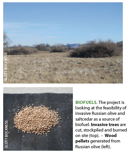 BIOFUELS.  The project is looking at the feasibility of invasive Russian olive and saltcedar as a source of biofuel.  Invasive trees  are cut, stockpiled and burned on site (top). •  Wood pellets  generated from Russian olive (left).