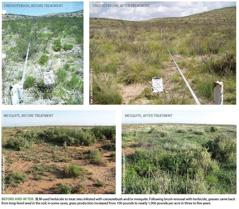 Before and after.  BLM used herbicide to treat sites infested with creosotebush and/or mesquite. Following brush removal with herbicide, grasses came back from long-lived seed in the soil; in some cases, grass production increased from 100 pounds to nearly 1,000 pounds per acre in three to five years.
