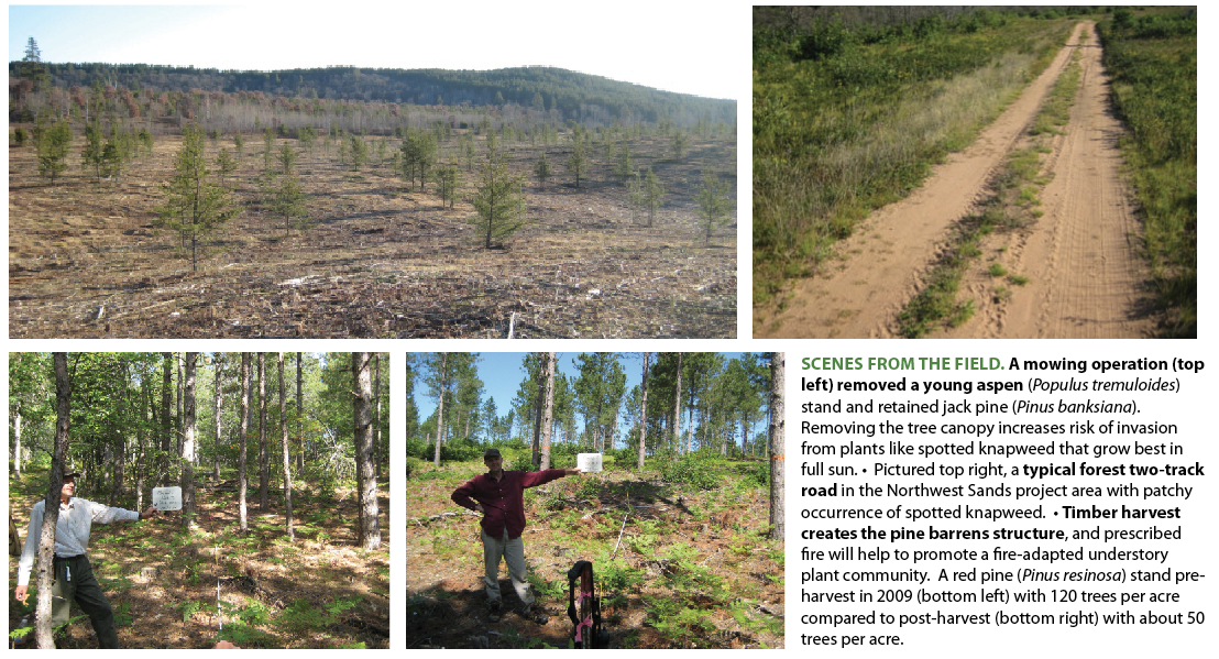 SCENES FROM THE FIELD. A mowing operation (top left) removed a young aspen  ( Populus tremuloides ) stand and retained jack pine ( Pinus banksiana ). Removing the tree canopy increases risk of invasion from plants like spotted knapweed that grow best in full sun. • Pictured top right, a  typical forest two-track road  in the Northwest Sands project area with patchy occurrence of spotted knapweed. •  Timber harvest creates the pine barrens structure , and prescribed fire will help to promote a fire-adapted understory plant community. A red pine ( Pinus resinosa ) stand pre-harvest in 2009 (bottom left) with 120 trees per acre compared to post-harvest (bottom right) with about 50 trees per acre.