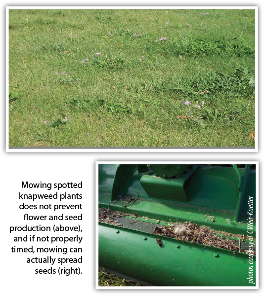 Mowing spotted knapweed plants does not prevent flower and seed production (above), and if not properly timed, mowing can actually spread seeds (right).