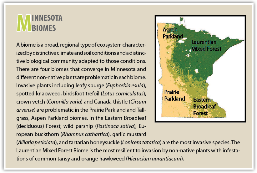 Minnesota Biomes   A biome is a broad, regional type of ecosystem characterized by distinctive climate and soil conditions and a distinctive biological community adapted to those conditions. There are four biomes that converge in Minnesota and different non-native plants are problematic in each biome. Invasive plants including leafy spurge ( Euphorbia esula ), spotted knapweed, birdsfoot trefoil ( Lotus corniculatus ), crown vetch ( Coronilla varia ) and Canada thistle ( Cirsum arvense ) are problematic in the Prairie Parkland and Tallgrass, Aspen Parkland biomes. In the Eastern Broadleaf (deciduous) Forest, wild parsnip ( Pastinaca sativa ), European buckthorn ( Rhamnus cathartica ), garlic mustard ( Alliaria petiolata ), and tartarian honeysuckle ( Lonicera tatarica ) are the most invasive species. The Laurentian Mixed Forest Biome is the most resilient to invasion by non-native plants with infestations of common tansy and orange hawkweed ( Hieracium aurantiacum ).