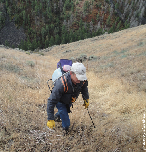 Controlling rush skeletonweed as part of the Continental Divide Barrier Zone Project in Lemhi County.