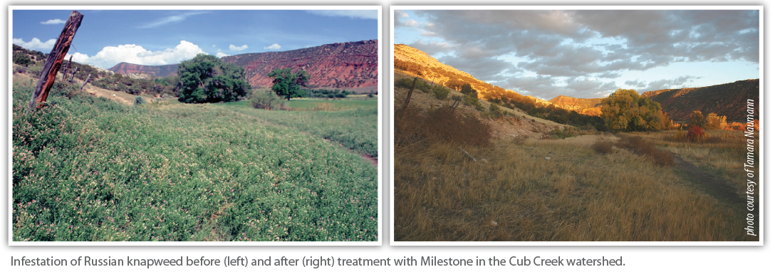 Infestation of Russian knapweed before (left) and after (right) treatment with Milestone in the Cub Creek watershed.