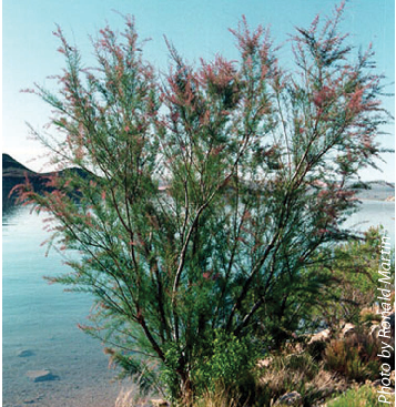 Figure 1. Saltcedar (above) and Russian olive both dominate plant communities in many riparian and lowland sites in the western United States.