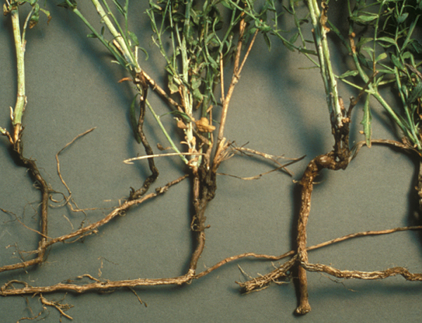 Russian knapweed roots are black or dark brown in color and develop shoots from root buds, enabling the plant to spread rapidly. Photo BY Washington State Weed Board.