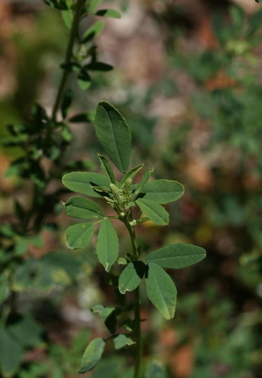 Sweetclover leaves