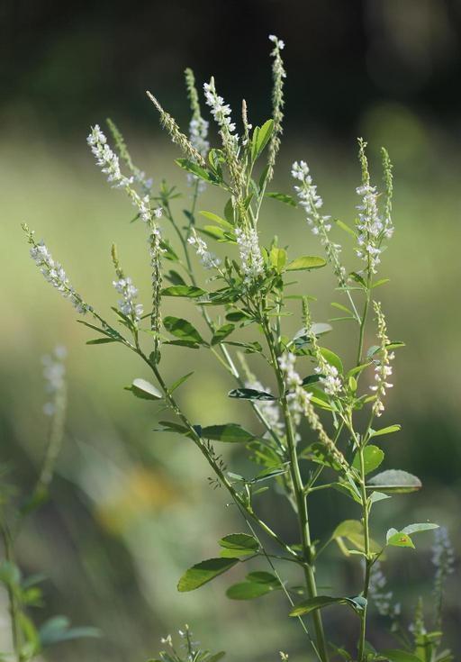 White sweetclover plant