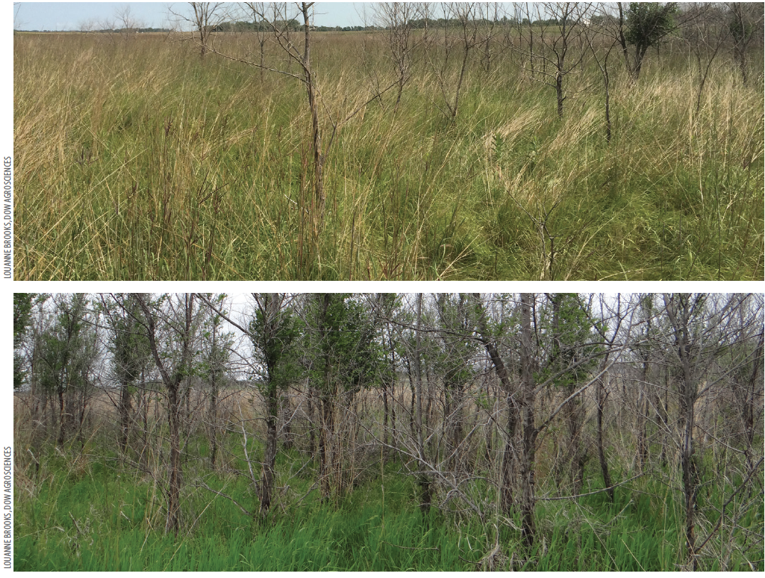 Visual results  nine months following aerial application of Garlon® 4 Ultra on small elm (top) compared to a non-treated control plot (bottom).