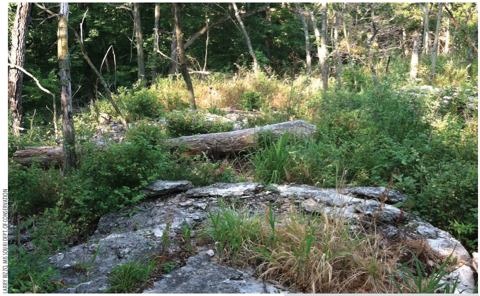 Exposed rocks are key habitat for the lizards  since they offer basking sites as well as crevices for shelter and escape. Removing the woody canopy in specific sites increases the amount of habitat available to the lizards AND allows them to disperse and mix with the other populations of lizards.