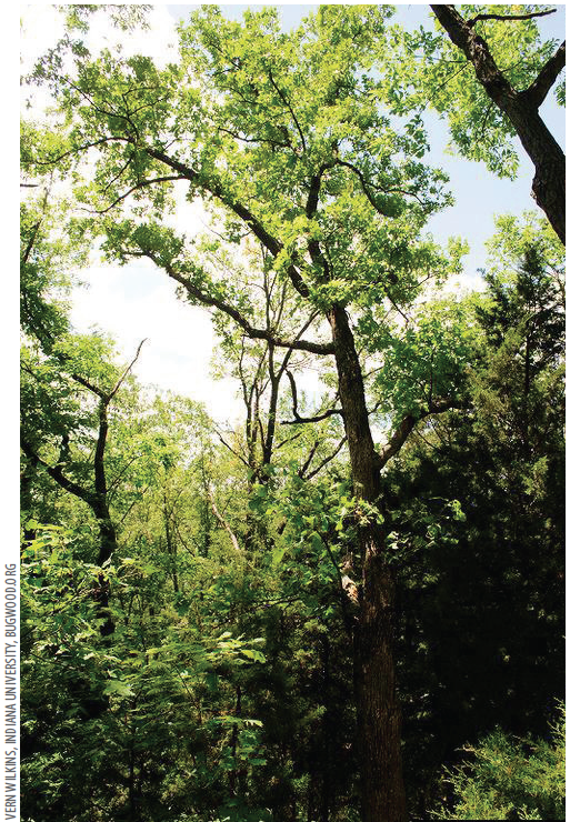 Except for native post oak  (above) and chinkapin oak, all woody shrubs and trees are removed within a 50-foot wide corridor to connect the glade and limestone quarry.
