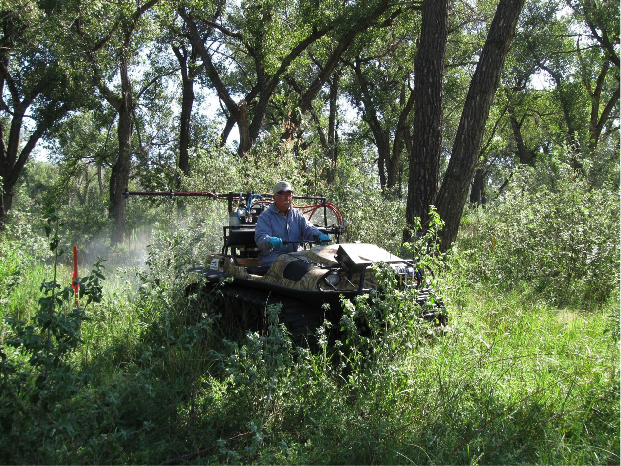 Figure 2. Russian olive regrowth at time of application (September) in Henry, Nebraska. Photo by Mary Halstvedt