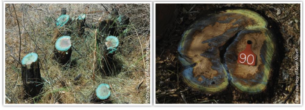 Comparison of a modified cut stump application (left) and cut stump application (right).