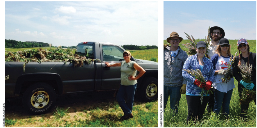 Lynette Anderson with a truck-load of Grecian foxglove  that was pulled from an infestation on Belwin Conservancy, left. Anderson has worked for the Conservancy since 2008 and spends about 75 percent of her time on invasive plant management.   Volunteers  display their foxglove bouquets, right.