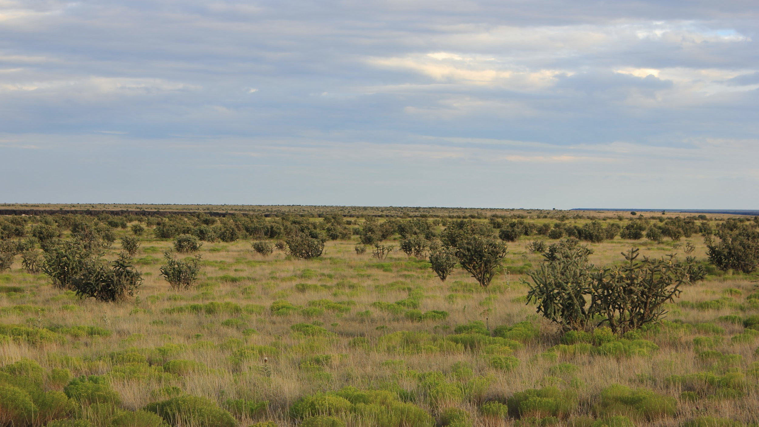 Figure 3. Cholla often becomes problematic creating dense thickets on rangeland or natural areas. PHOTO BY CELESTINE DUNCAN