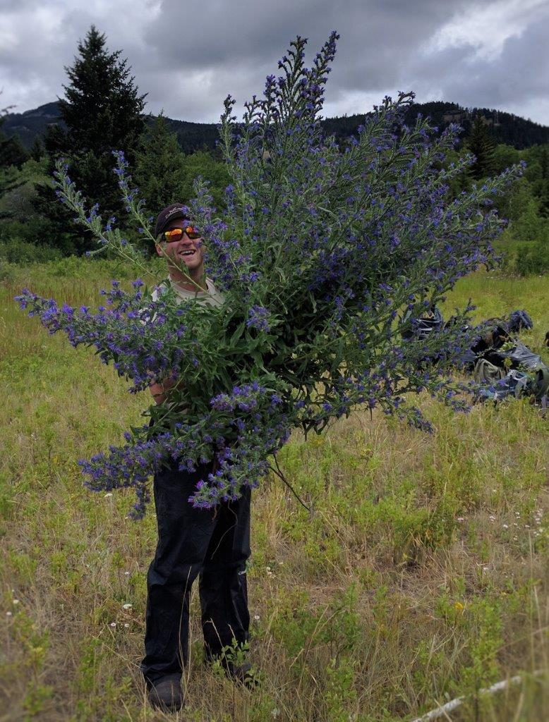 Big Blueweed