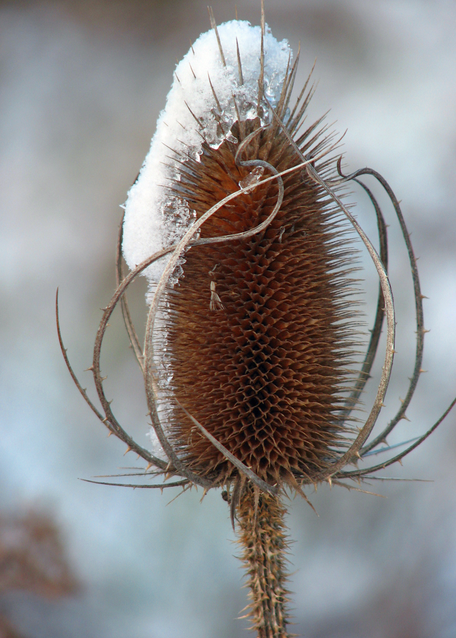 Common Teasel with a snowy cap