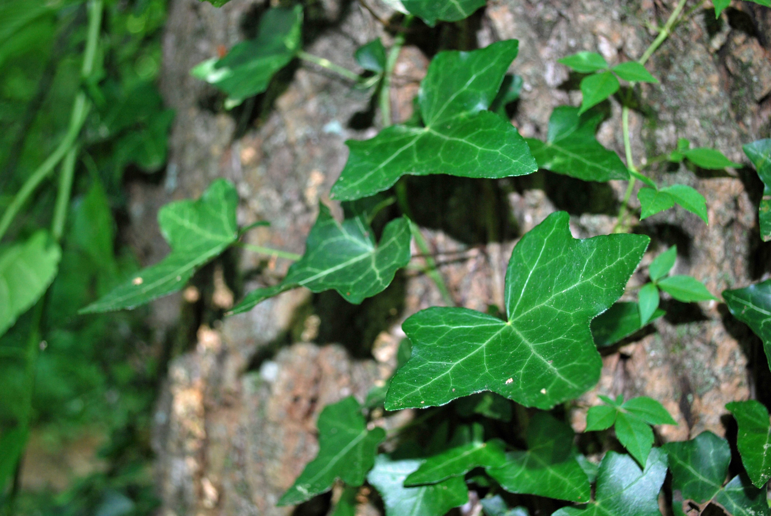 English ivy climbing a tree in an urban woodlot