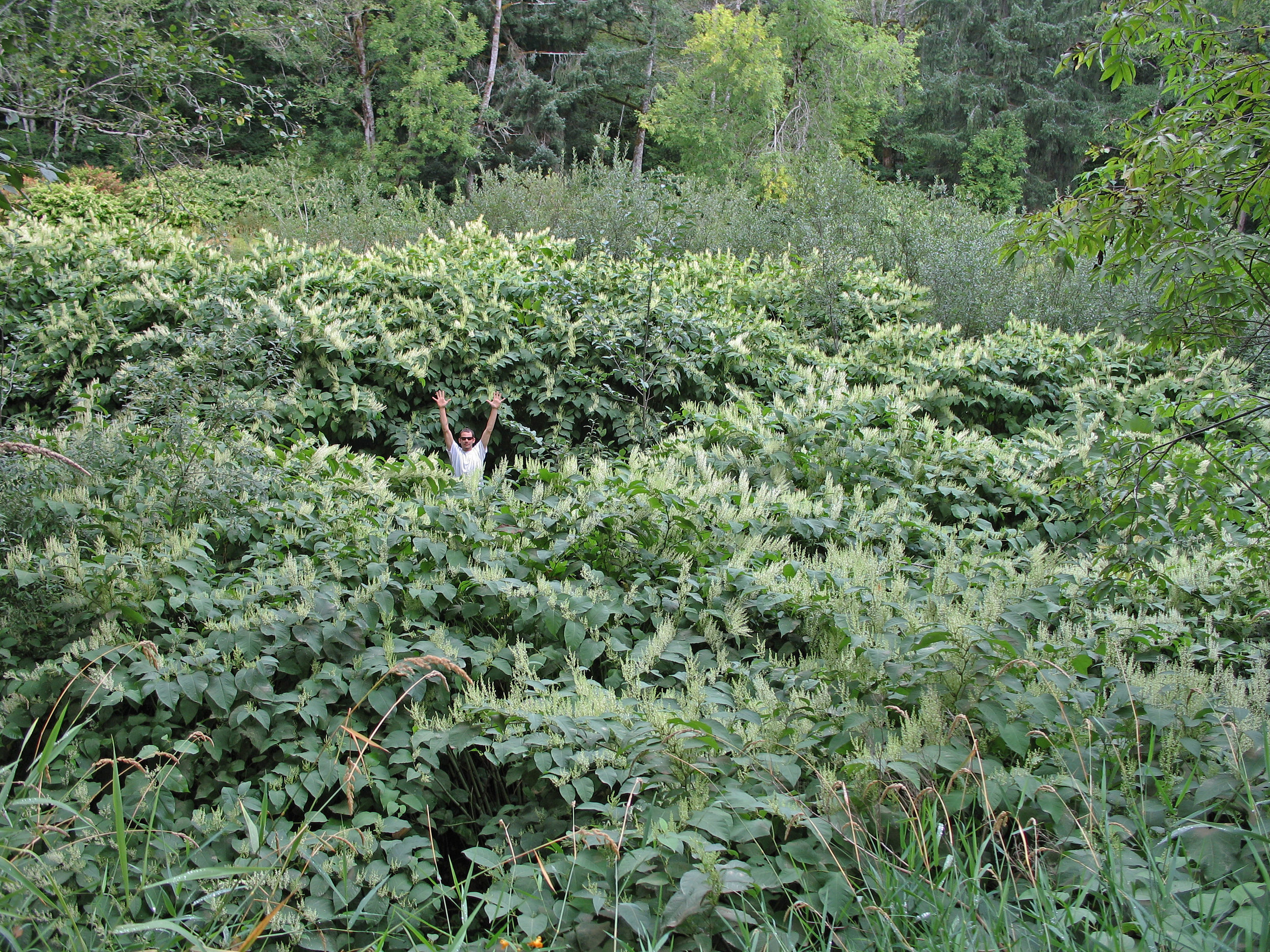 Lost in the knotweed patch