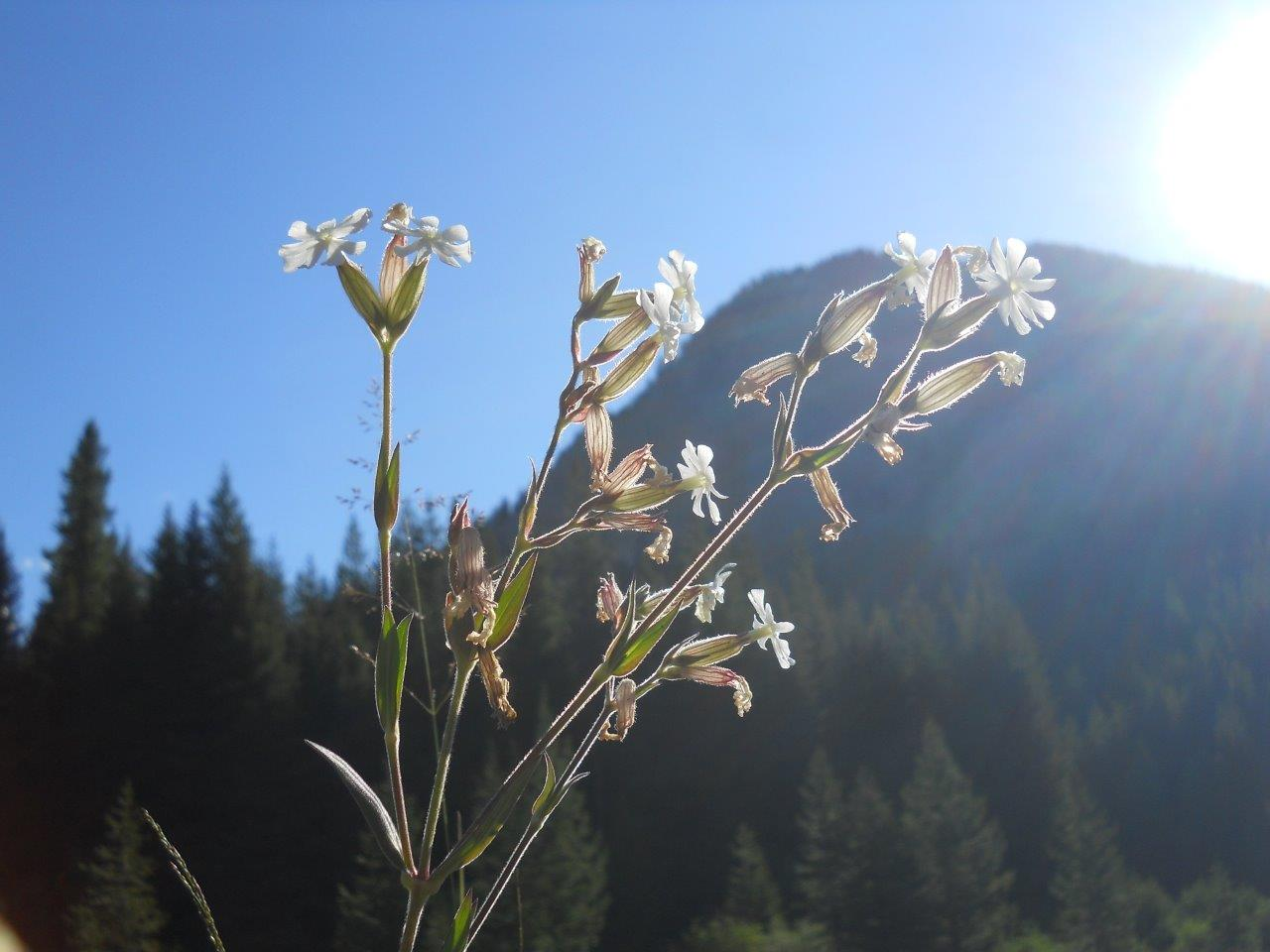 Montana Bladder campion in the morning sun with Jumbo Mt in background