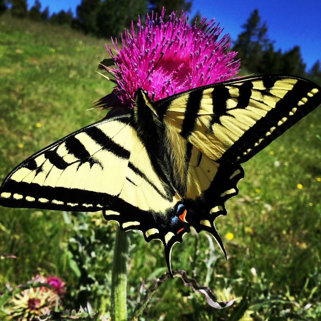 HONORABLE MENTION - This picture of a Butterfly having lunch on the flowering Thistle was taken on a ranch near Bone Idaho. Submitted by: Dan Eldredge