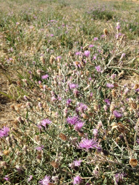 Spotted Knapweed Field