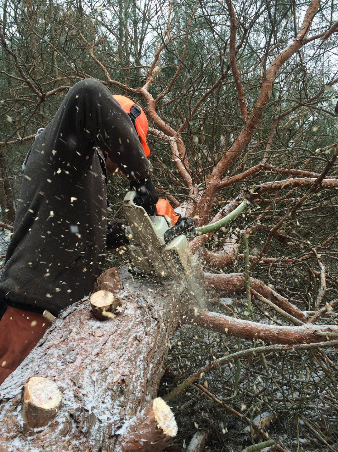 John Lerdal, a Riparian Restoration Assistant, using a chainsaw to fell and buck up a scotch pine...