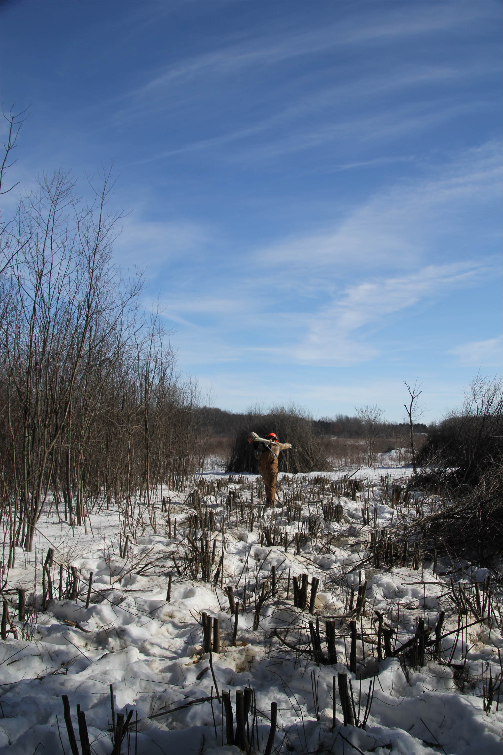 John Lerdal, a Riparian Restoration Assistant, carrying his brushcutter during a day of cutting and treating glossy buckthorn (Frangula alnus).