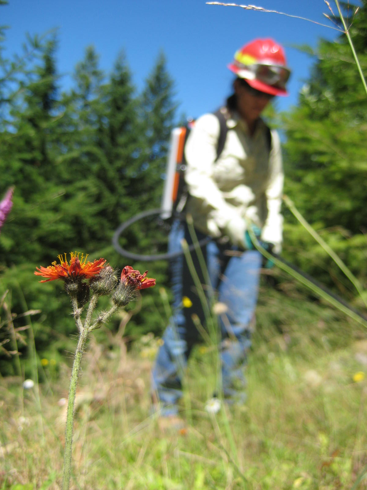 Linda Cartwright, the former Forest Invasive Species Coordinator, spraying orange hawkweed.