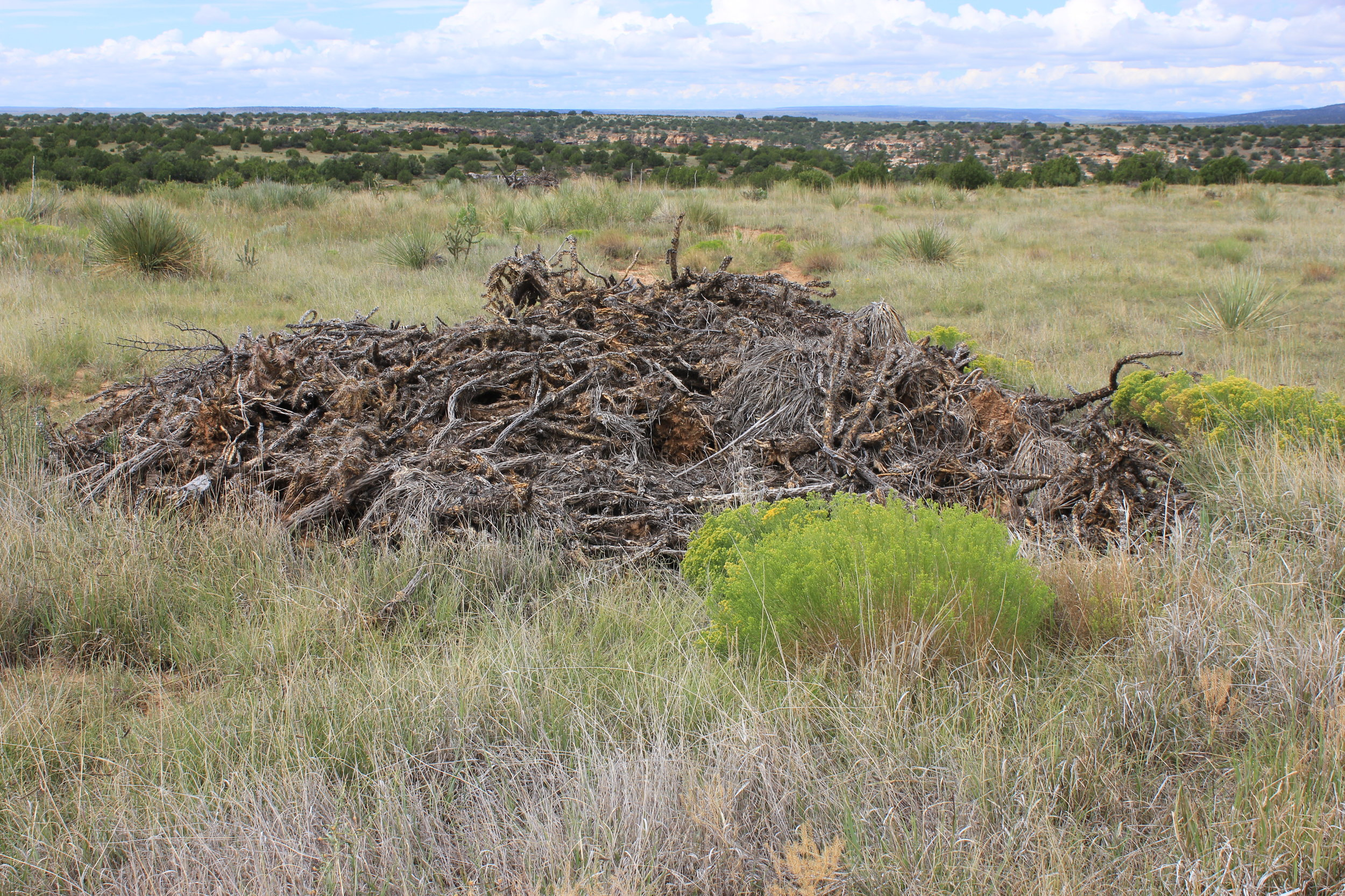 FIGURE 9. CHOLLA THAT IS UPROOTED WITH MECHANICAL EQUIPMENT MUST BE STOCKPILED AND BURNED TO PREVENT PLANTS FROM RE-GROWING.