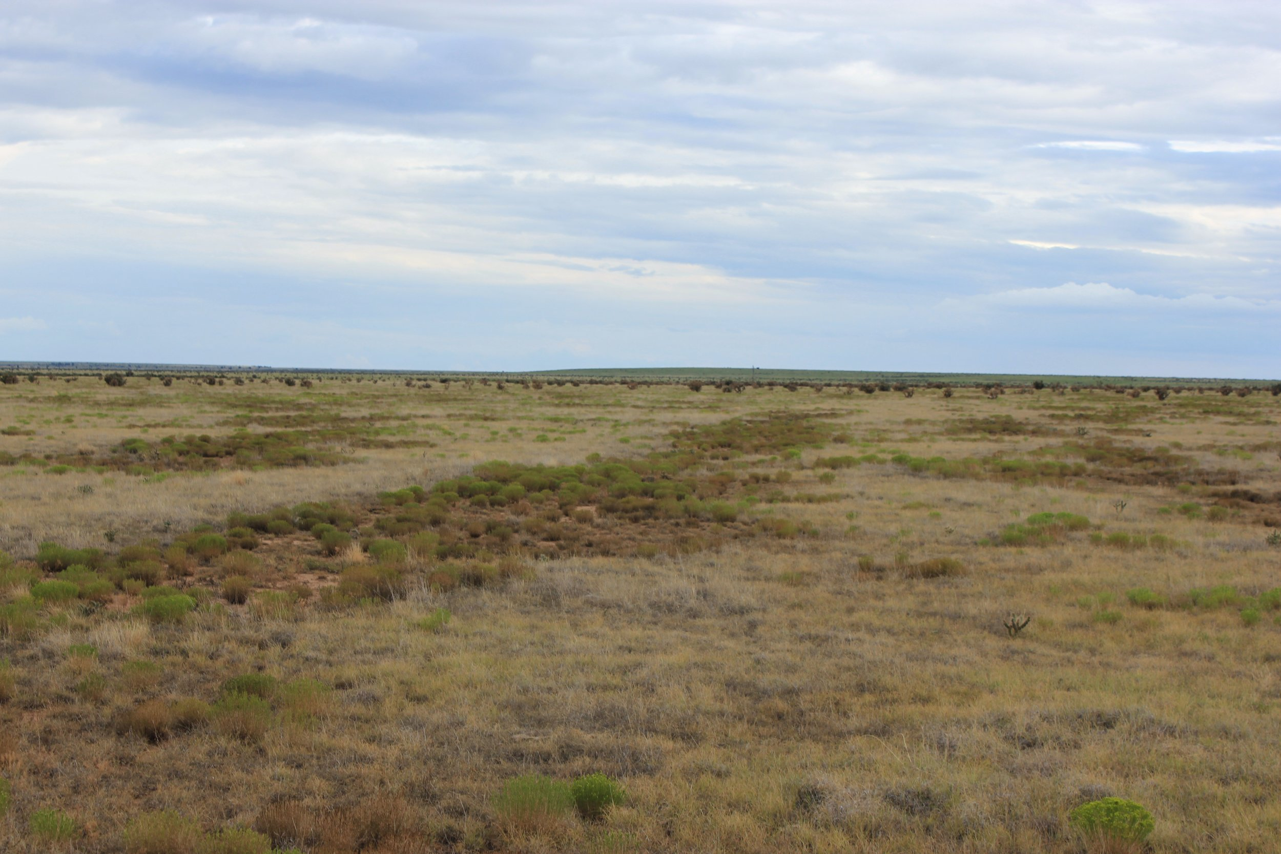 FIGURE 10. SNAKEWEED INVASION IN DISTURBED AREAS 5 YEARS AFTER REMOVAL OF CHOLLA WITH A MULCHER.