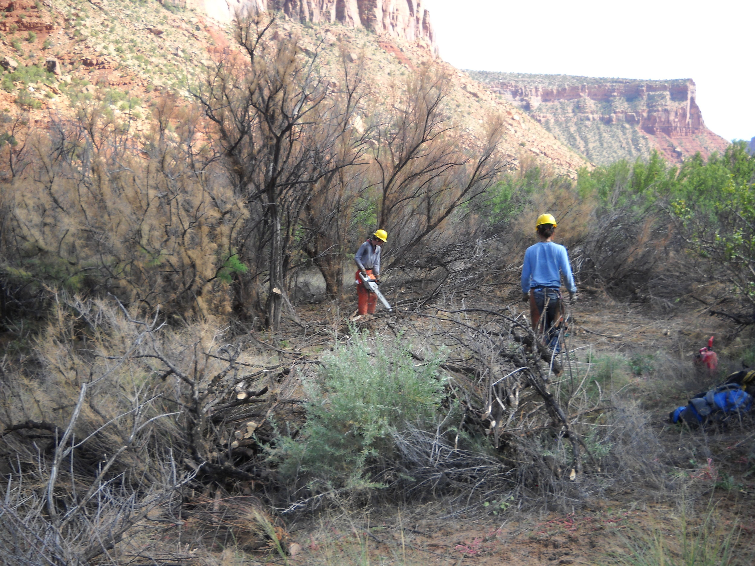 Figure 2. Conservation Corp crews remove tamarisk from the Dolores River riparian area