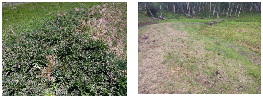 Figure 5. Musk thistle is well established on disturbed sites such as this stock pond. Musk thistle prior to Milestone® application at 7 fl oz/A (left) and the same area one year following application (right)